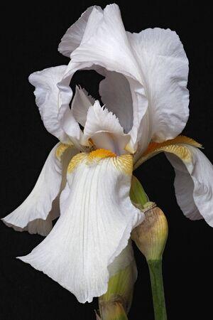 Hybrid German iris (Iris x germanica). Image of flower isolated on black background