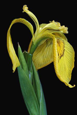 ussuri: Ussuri iris (Iris maackii). Image of flower on black background Stock Photo