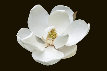 Southern magnolia (Magnolia grandiflora). Called  Evegreen Magnolia, Bull Bay, Bullbay Magnolia, Laurel Magnolia and Loblolly Magnolia also. Close up image of flower isolated on black background