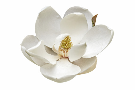 Southern magnolia (Magnolia grandiflora). Called  Evegreen Magnolia, Bull Bay, Bullbay Magnolia, Laurel Magnolia and Loblolly Magnolia also. Close up image of flower isolated on white background