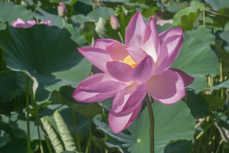 nucifera: Sacred lotus (Nelumbo nucifera). Called Indian Lotus, Bean of India and Lotus also.