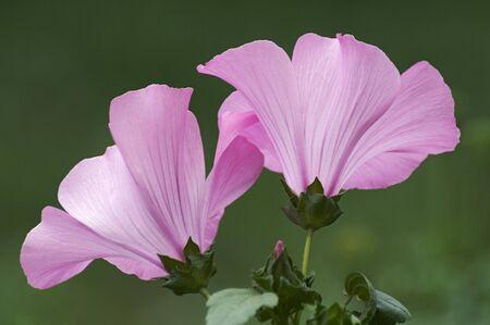 mallow: Annual mallow (Lavatera trimestris). Called Rose Mallow, Royal Mallow and Regal Mallow also. Another scientific name is Althaeae trimestris