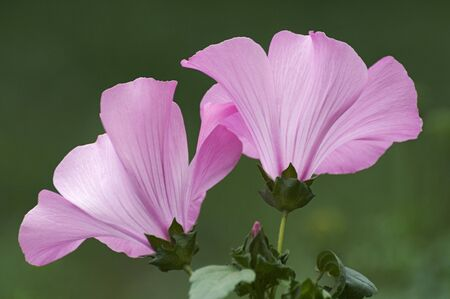 Annual mallow (Lavatera trimestris). Called Rose Mallow, Royal Mallow and Regal Mallow also. Another scientific name is Althaeae trimestris