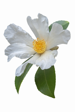 Tea oil camellia (Camellia oleifera). Called Oil-seed camellia also. Image of flower isolated on white background Stock Photo