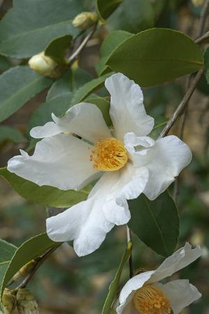Tea oil camellia (Camellia oleifera). Called Oil-seed camellia also Stock Photo