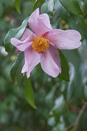 jane: Ashtons Pride hybrid camellia (Camellia x hybrid Ashtons Pride). Hybrid of Camellia sasanqua Santozaki and Camellia oleifera Plain Jane. Image of single flower