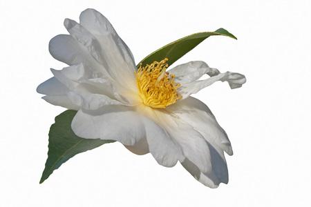 hybrid: Elaine Lee hybrid camellia (Camellia x hybrid Elaine Lee). Image of flower isolated on white background