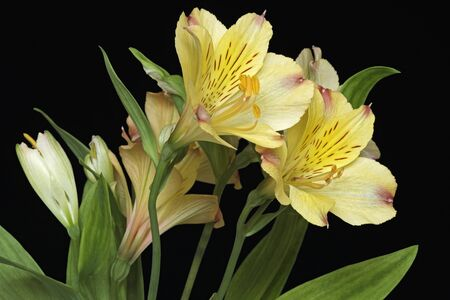 Peruvian lily (Alstroemeria x hybrid). Called Lily of the Incas also. Image of flowers on black background 写真素材