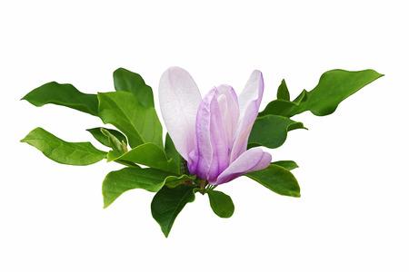 magnolia soulangeana: Saucer magnolia (Magnolia x soulangeana). Hybrid between Magnolia denudata and Magnolia liliiflora. Called Chinese Magnolia and Tulip Magnolia also. Image of flower and leaves isolated on white background Stock Photo