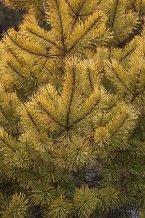 pinus sylvestris: Gold coin golden scotch pine (Pinus sylvestris Gold coin). Image of twigs and needles