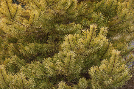pinaceae: Gold coin golden scotch pine (Pinus sylvestris Gold coin). Image of twigs and needles