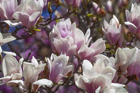 magnolia soulangeana: Alba saucer magnolia flowers (Magnolia x soulangeana Alba). Stock Photo