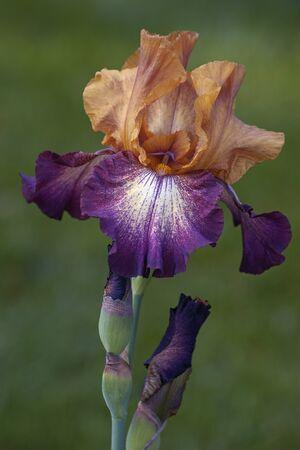 Hybrid German iris (Iris x germanica). Close up image of multicolored flower and bud
