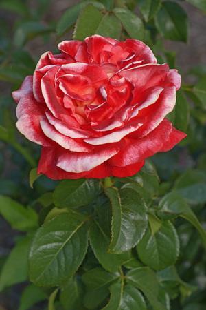Hybrid rose (Rosa x hybrid). Iimage of single red flower 版權商用圖片