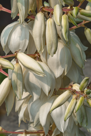 yucca: Common yucca (Yucca filamentosa). Called Adams needle, Spanish bayonet, Bear-grass, Needle-palm, Silk-grass and Spoon-leaf yucca also. Image of multiple flowers