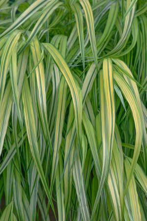aureola: Variegated Japanese forest grass (Hakonechloa macra Aureola)
