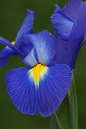 Nederlands iris (Iris Xiphium). Riep Spaanse iris ook. Een andere wetenschappelijke namen zijn Iris lusitanica en Iris x hollandica. Close-up beeld van een enkele blauwe bloem Stockfoto