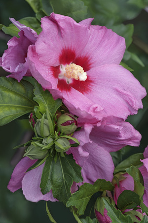 sharon: Rose of Sharon (Hibiscus syriacus). Called Syrian ketmia and Rose mallow also. Close up image os flowers and buds
