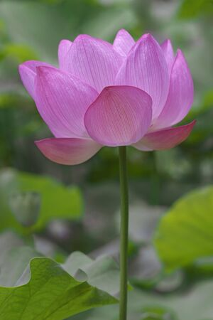 sacred lotus: Sacred lotus (Nelumbo nucifera). Called Indian Lotus, Bean of India and Lotus also. Lateral view of single flower Stock Photo