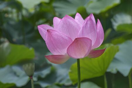 indian bean: Sacred lotus (Nelumbo nucifera). Called Indian Lotus, Bean of India and Lotus also. Lateral view of single flower Stock Photo