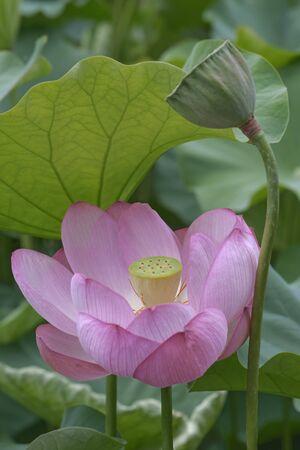 nucifera: Sacred lotus (Nelumbo nucifera). Called Indian Lotus, Bean of India and Lotus also. Image of flower and seedhead