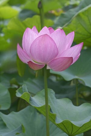 sacred lotus: Sacred lotus (Nelumbo nucifera). Called Indian Lotus, Bean of India and Lotus also. lateral view of flower Stock Photo