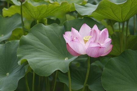 indian bean: Sacred lotus (Nelumbo nucifera). Called Indian Lotus, Bean of India and Lotus also. General view of plant