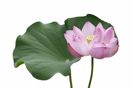 nucifera: Sacred lotus (Nelumbo nucifera). Called Indian Lotus, Bean of India and Lotus also.  Image of flower and isolated on white background