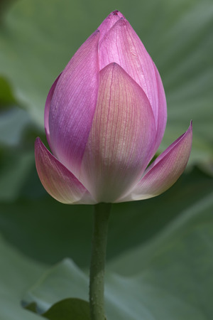 sacred lotus: Sacred lotus (Nelumbo nucifera). Called Indian Lotus, Bean of India and Lotus also. Another scientific names are Nelumbo komarovii, Nelumbium speciosum, Nymphaea nelumbo and Nymphaeae stellata Stock Photo