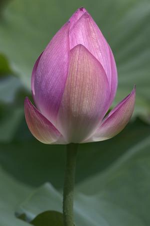 nelumbo: Sacred lotus (Nelumbo nucifera). Called Indian Lotus, Bean of India and Lotus also. Another scientific names are Nelumbo komarovii, Nelumbium speciosum, Nymphaea nelumbo and Nymphaeae stellata Stock Photo