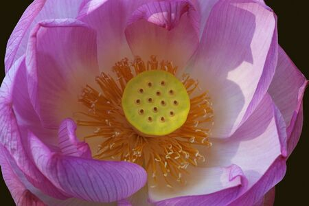 indian bean: Sacred lotus (Nelumbo nucifera). Called Indian Lotus, Bean of India and Lotus also. Close up image of flower