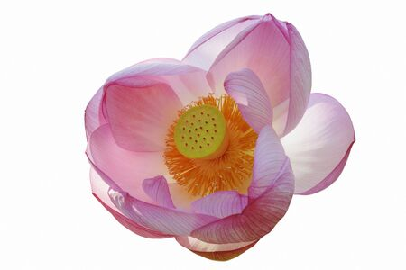 sacred lotus: Sacred lotus (Nelumbo nucifera). Called Indian Lotus, Bean of India and Lotus also. Image of flower isolated on white background