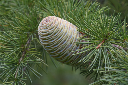 pinaceae: Deodar cedar (Cedrus deodara). Another scientific name for this tree is Cedrus libani deodara. Called Himalayan cedar also. Close up image of cone Stock Photo