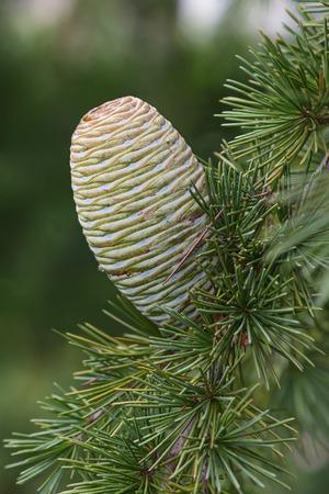pinaceae: Deodar cedar (Cedrus deodara). Another scientific name for this tree is Cedrus libani deodara. Called Himalayan cedar also. Lateral image of cone Stock Photo