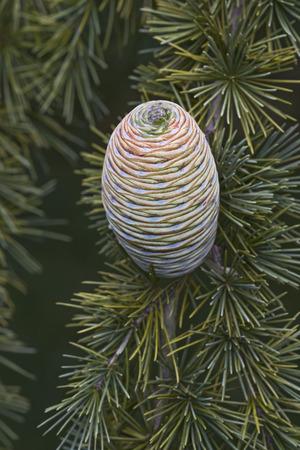 pinaceae: Deodar cedar (Cedrus deodara). Another scientific name for this tree is Cedrus libani deodara. Called Himalayan cedar also. Image of single cone Stock Photo