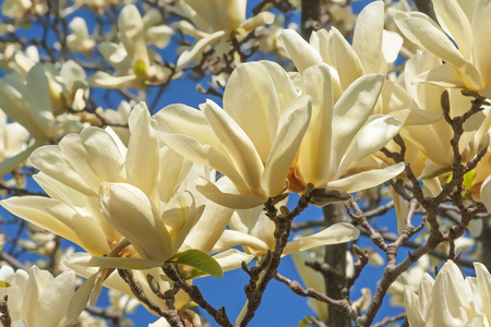 hybrid: Ivory Chalice magnolia flowers (Magnolia x hybrid Ivory Chalice). Hybrid between Magnolia acuminata and Magnolia denudata Stock Photo