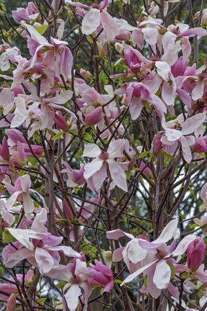 hybrid: Daybreak magnolia (Magnolia x hybrid Daybreak). Hybrid between Magnolia x brooklynensis Woodsman and Magnolia x hybrid Tina Durio)
