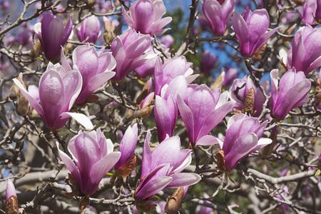 magnolia soulangeana: Verbanica saucer magnolia flowers (Magnolia x soulangeana Verbanica) Stock Photo