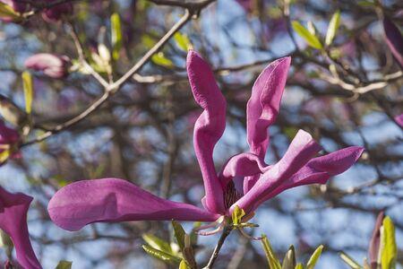 susan: Girl hybrid magnolia Susan (Magnolia x hybrid Susan). Hybrid between Magnolia liliflora Nigra and Magnolia stellata Rosea