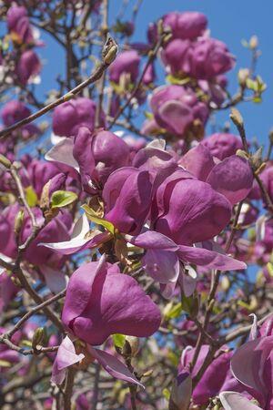 magnolia soulangeana: Grace McDade saucer magnolia (Magnolia x soulangeana Grace McDade)