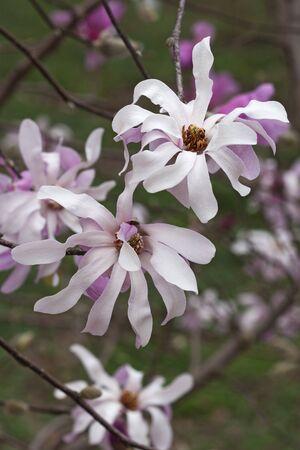 leonard: Leonard Messel loebner magnolia (Magnolia x loebneri Leonard Messel) Stock Photo