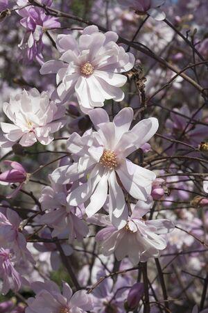 rosea: Pink star magnolia flowers (Magnolia stellata Rosea) Stock Photo