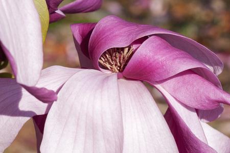 Galaxy hybrid magnolia (Magnolia x hybrid Galaxy). Hybrid between Magnolia liliflora Nigra and Magnolia sprengeri Diva) Фото со стока