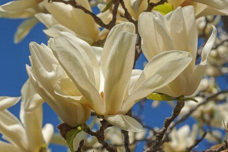 chalice: Ivory Chalice magnolia flowers (Magnolia x hybrid Ivory Chalice). Hybrid between Magnolia acuminata and Magnolia denudata Stock Photo