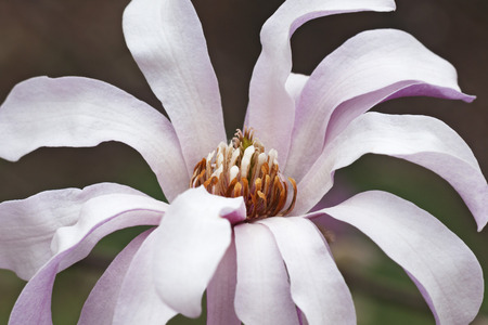leonard: Leonard Messel loebner magnolia flower (Magnolia x loebneri Leonard Messel)
