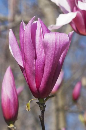 Spectrum hybrid magnolia (Magnolia x hybrid Spectrum). Hybrid between Magnolia liliflora Nigra and Magnolia sprengeri Diva