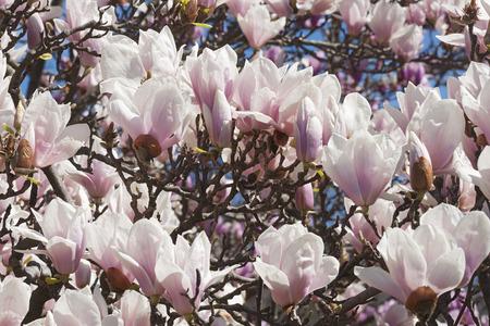 magnolia soulangeana: Alba saucer magnolia flowers (Magnolia x soulangeana Alba)