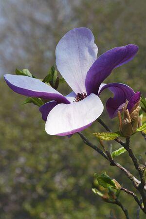 dude: Red Baron magnolia flower (Magnolia x hybrid Red Baron). Hybrid between Magnolia acuminata and Magnolia x hybrid Big Dude Stock Photo
