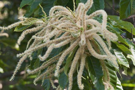 fagaceae: American chestnut flowers (Castanea dentata)