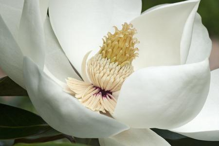 Southern magnolia (Magnolia grandiflora). Called  Evegreen Magnolia, Bull Bay, Bullbay Magnolia, Laurel Magnolia and Loblolly Magnolia also Stock Photo